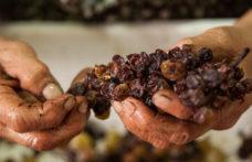 Moscato di Saracena, il nettare prezioso di Cantine Viola