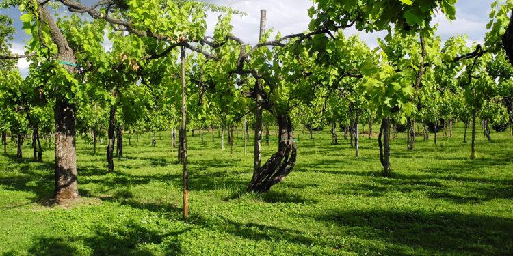 Come coltivare la vite: le forme di allevamento