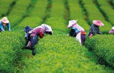 Le strade del tè. L'impero dei sensi e dei colori