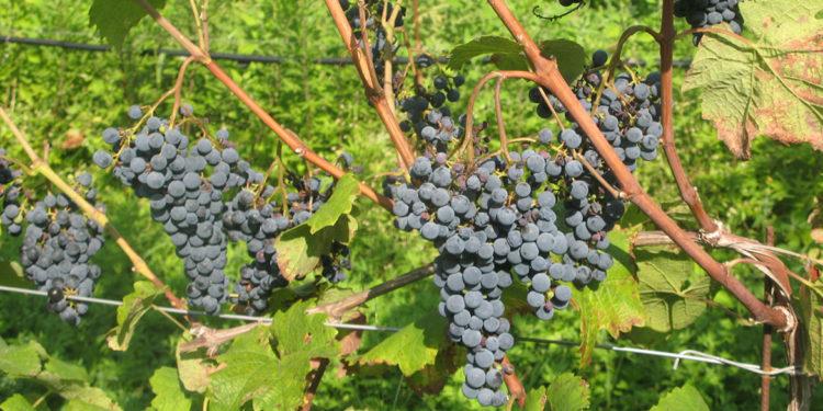 Quattro nuovi vitigni resistenti a oidio e peronospora