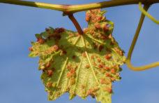Il genoma della fillossera apre nuove strade alla viticoltura