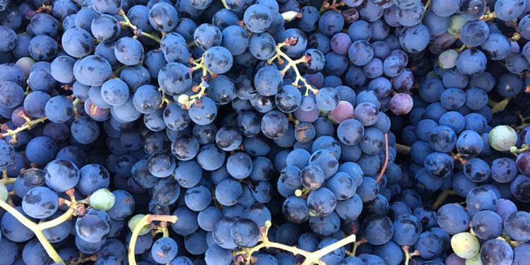 Perricone, un vitigno versatile da riscoprire