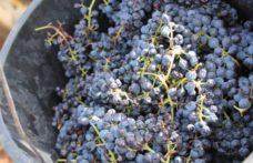 """Sentori di fumo nel vino, nelle uve la """"memoria"""" degli incendi"""