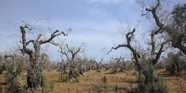 L'epidemia degli olivi pugliesi: Xylella fa ancora paura?