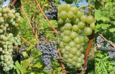 Un nome per i quattro nuovi vitigni resistenti