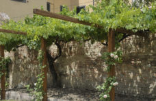 Alla riscoperta dei vitigni storici senesi