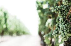 Vini naturali, nascita ed evoluzione di un'idea