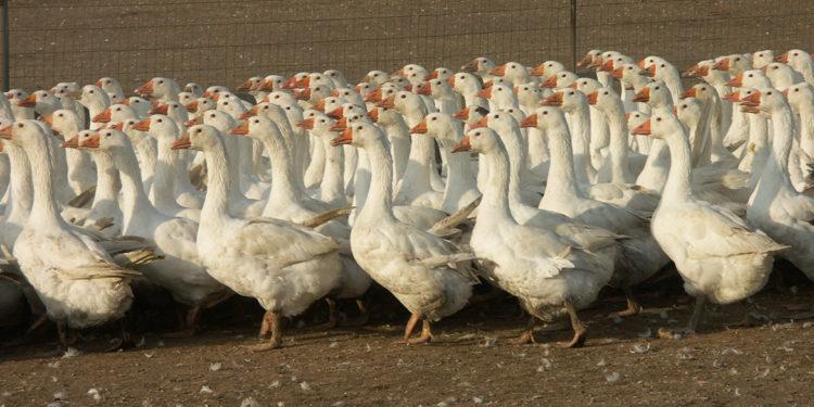 Oca, oltre il foie gras c'è di più