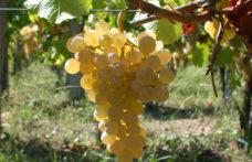 Ribolla gialla, uva di confine tra Collio e Brda slovena