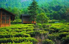 Tè, l'importanza del terroir