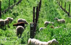 Oltre il vino, l'impegno sociale e ambientale delle Cantine americane
