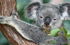 Dazi: l'Australia soffre, ma prova a reagire