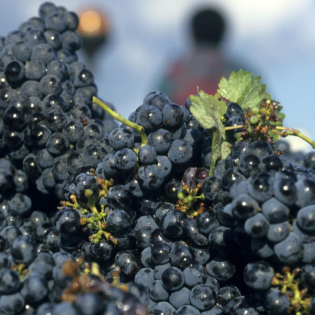 nuove uve Bordeaux