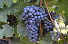 Le 7 uve resistenti selezionate dal progetto Vevir per la viticoltura trentina