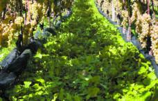 Resistenza! Capitolo 5: cade un tabù e nascono i vitigni resistenti Piwi