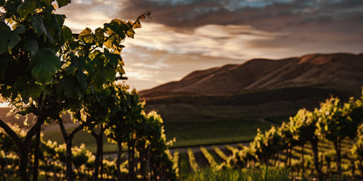 Il vino naturale è libero e selvaggio