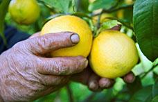 Bergamotto, l'oro verde della Calabria