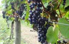 Cos'è lo Yamasachi, la nuova uva autoctona del Giappone