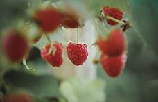 Tutti pazzi per il lampone, delicato frutto estivo