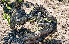 Le viti franche di piede e la cultura del terroir