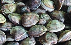 Nelle vongole si sente il sapore del mare pulito