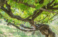 Nasce il Censimento delle Vecchie Vigne italiane