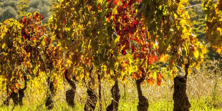 Perché (e come) salvaguardare le Vecchie Vigne