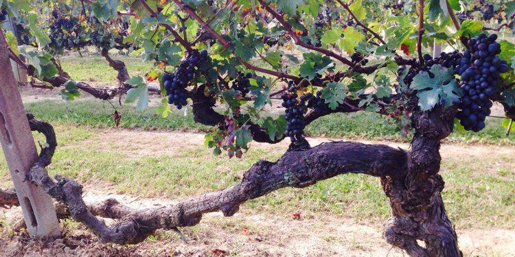 Censimento delle Vecchie Vigne: il Piemonte