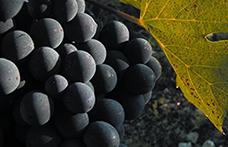 Sangiovese, Fiano, Montepulciano: i vitigni italiani che diventano internazionali