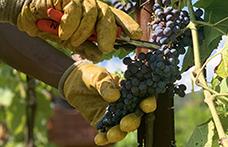 La Fondazione Mach organizza la 1ª Rassegna nazionale dei vini resistenti. Iscrizioni fino al 15 ottobre