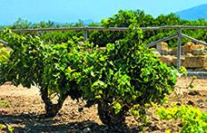Il vitigno come inconscio del nostro passato