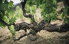 Censimento delle Vecchie Vigne: la Liguria